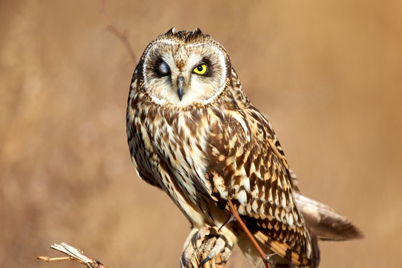 Unsplash Short-eared Owl Mathew Schwartz